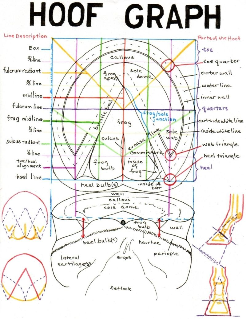 hoof graph important to know your horse s feet plus the coolest horse anatomy website ever  [ 800 x 1034 Pixel ]