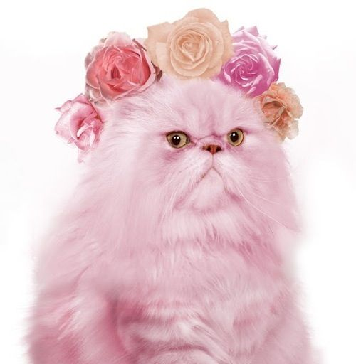 Crazy cute animal photos angry pink flower kitty cat too crazy crazy cute animal photos angry pink flower kitty cat mightylinksfo