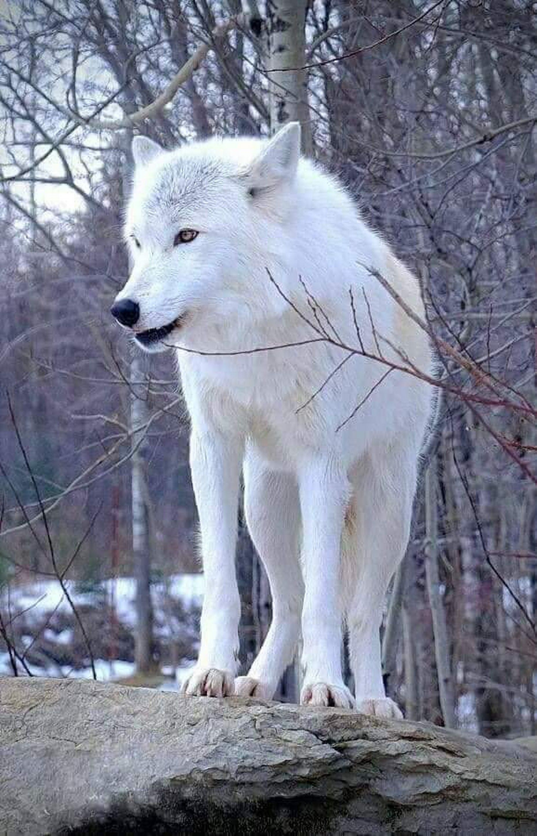 grey wolvez | Wolf dog, Artic wolf, Dogs
