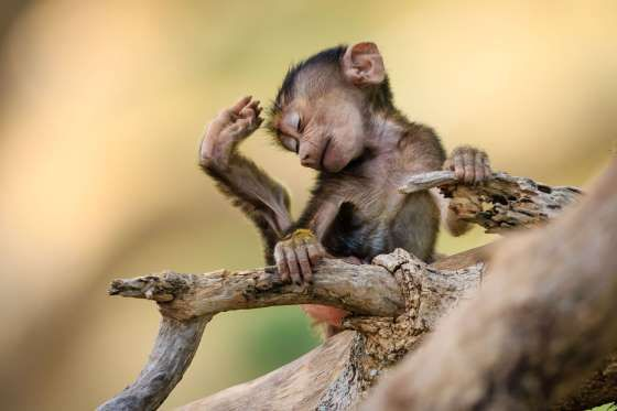 Baby baboon in Tarangire National Park, Tanzania - Aug 2015 - Jacques-Andre Dupont/Solent News/REX