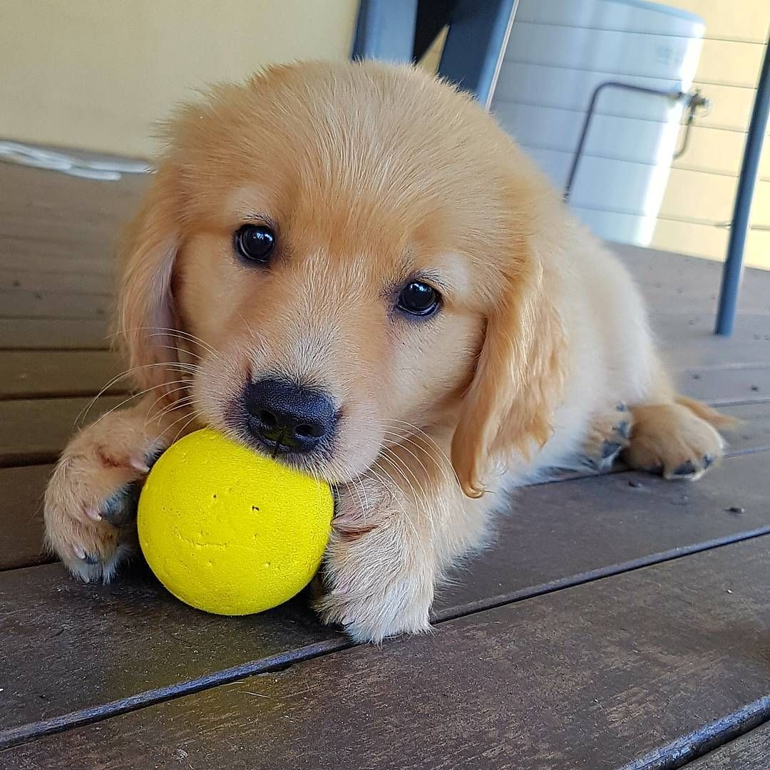 Cute Adorable Golden Retriever Pup Plays With A Yellow Little Ball