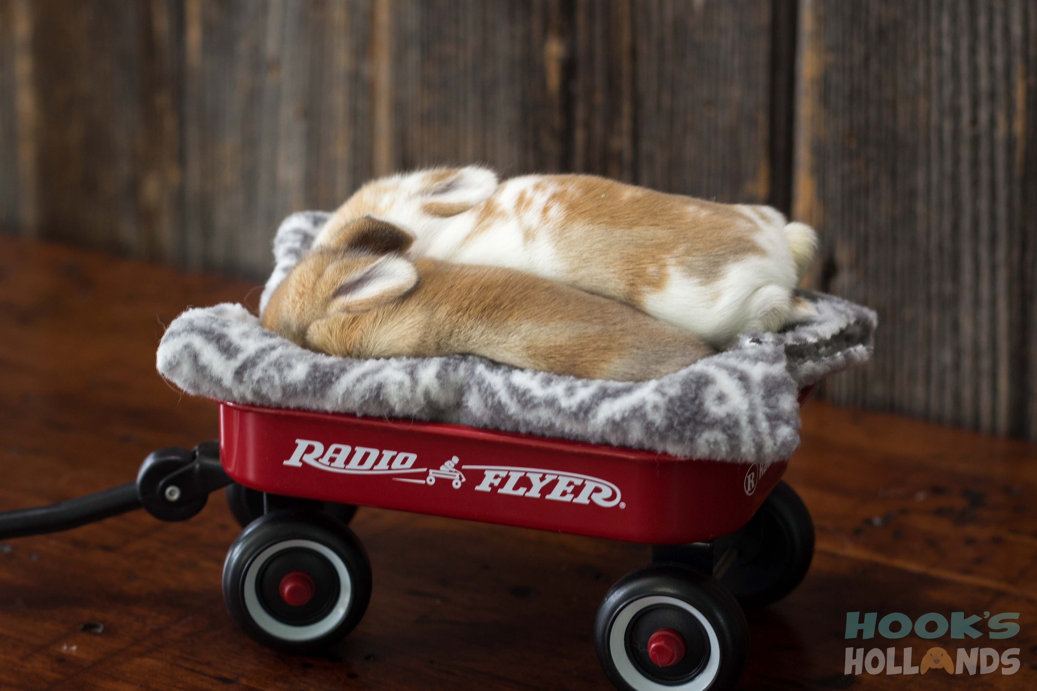 Orange baby Holland lop bunnies sleeping in a Radio Flyer