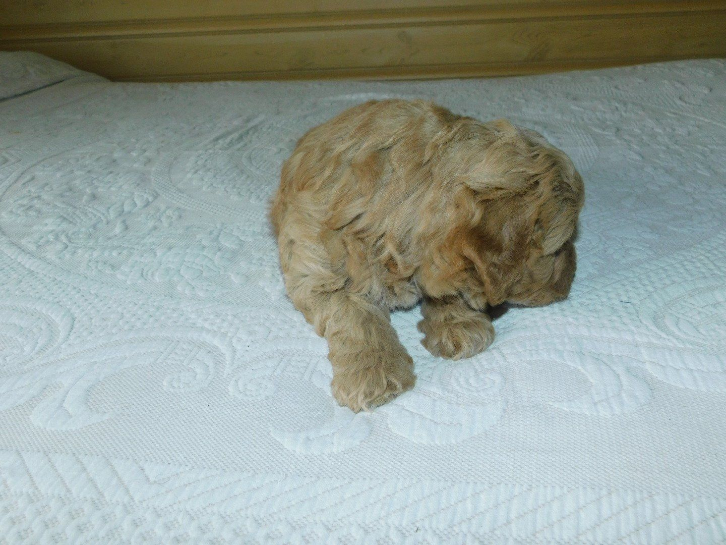 Oscar Male Mini Goldendoodle Puppy For Sale Reading Michigan