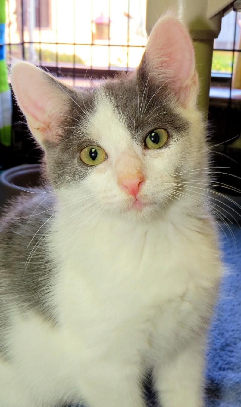 "6-383 ""Buckwheat"" is an adoptable Domestic Short Hair - gray and white searching for a forever family near West Babylon, NY. Use Petfinder to find adoptable pets in your area."