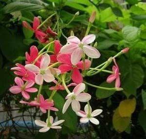Bunga Rangoon Creeper Flowering Vines Lily Plants Ornamental Plants