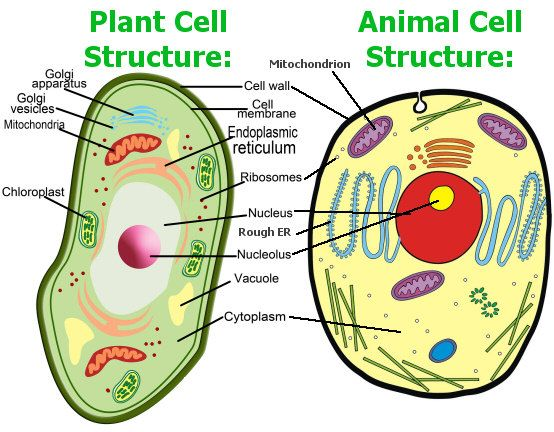 Diagram Of Plant And Animal Cells School Project Diy Enthusiasts