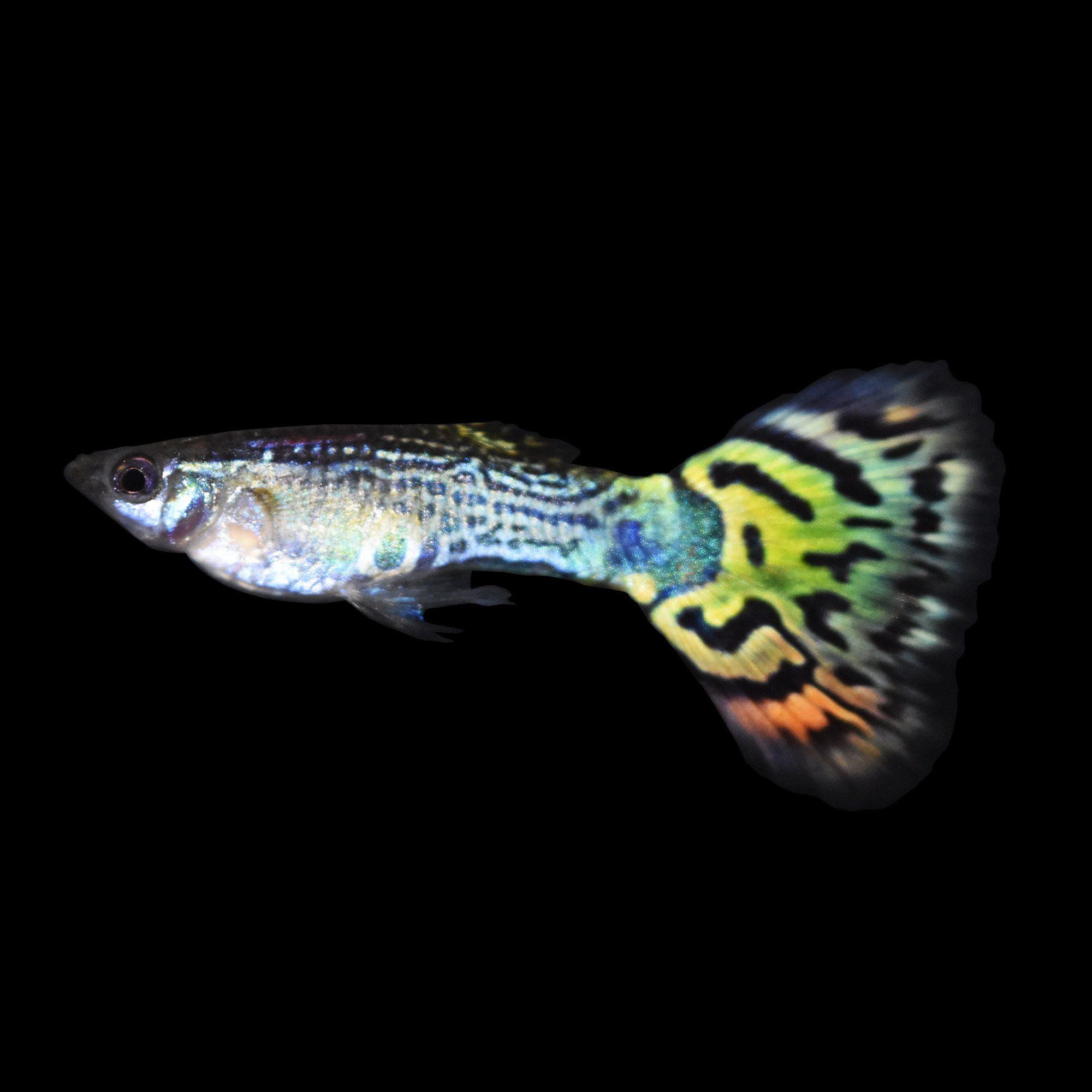Assorted male fancy guppies aquarium fish guppy and for Easy aquarium fish