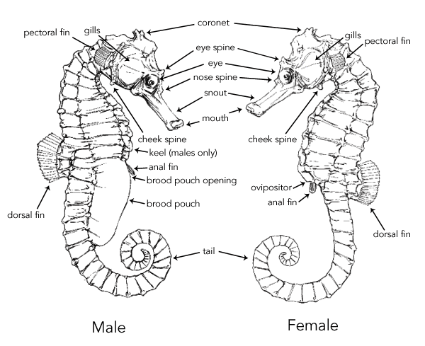 seahorse biology  u0026 anatomy