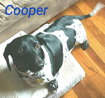 Andalusia, PA Dachshund. Meet Cooper a Dog for Adoption