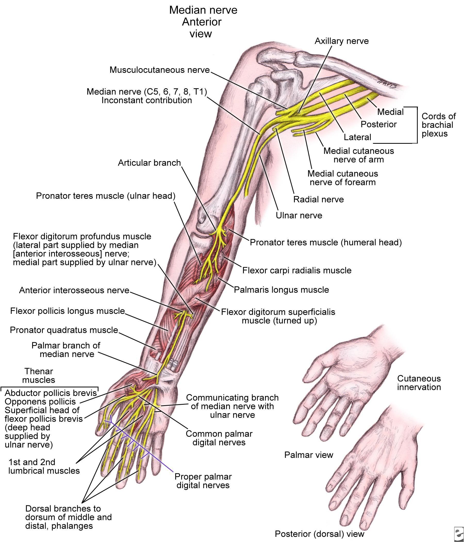 Pin by Sandeep on Upper Limb Anatomy | Pinterest | Upper limb anatomy