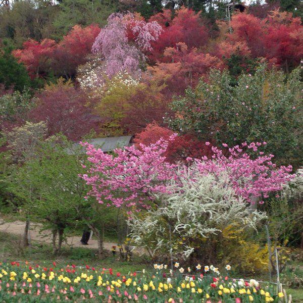 縞うさぎ/詫摩雅子 @shima_usa96  3月14日 春の福島は本当に綺麗。写真は花見山。すごいのは、もう10回は行っているのに、行くたびに来年もまた来たいと思えること。行くたびに、今年もこの花を見ることができてよかったと思えること。