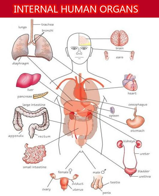 There Are 23 Internal Organs In Human Body Following Is The List Of