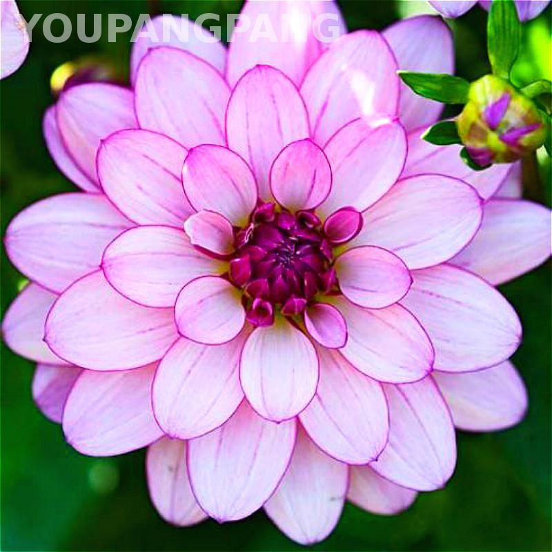 Dahlia Flower Plants Plants Can Be Easily Grown From Seed At Home Just Imagine How Interesting It Is To Observe Th Flower Seeds Beautiful Flowers Love Flowers