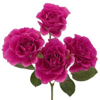 Raspberry ruffles mini rose pinterest raspberry flowers and 8 bunches for 108 fiftyflowers raspberry ruffles mini rose mightylinksfo