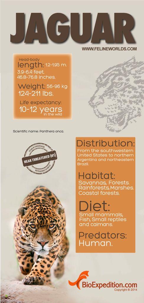 Jaguar Infographic Jaguar Facts For Kids Jaguar Habitat Jaguar