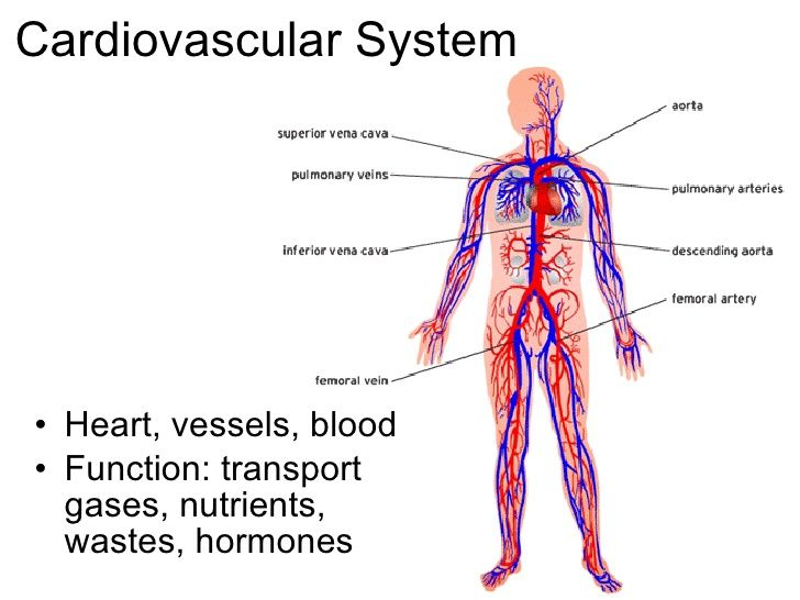cardiovascular system | Others | Pinterest | The journal, The o ...