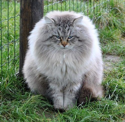 Attention Long Haired Cat Breeds Disk Trend Magazine Siberian Forest Cat Cat Breeds Domestic Cat Breeds