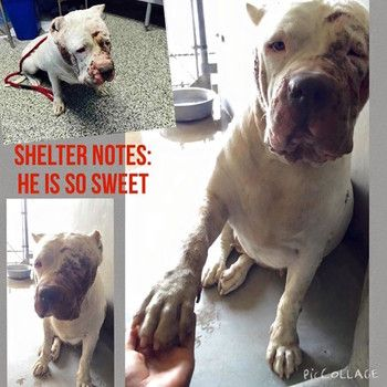 Neglected white American bulldog at kill shelter in California; gives paw