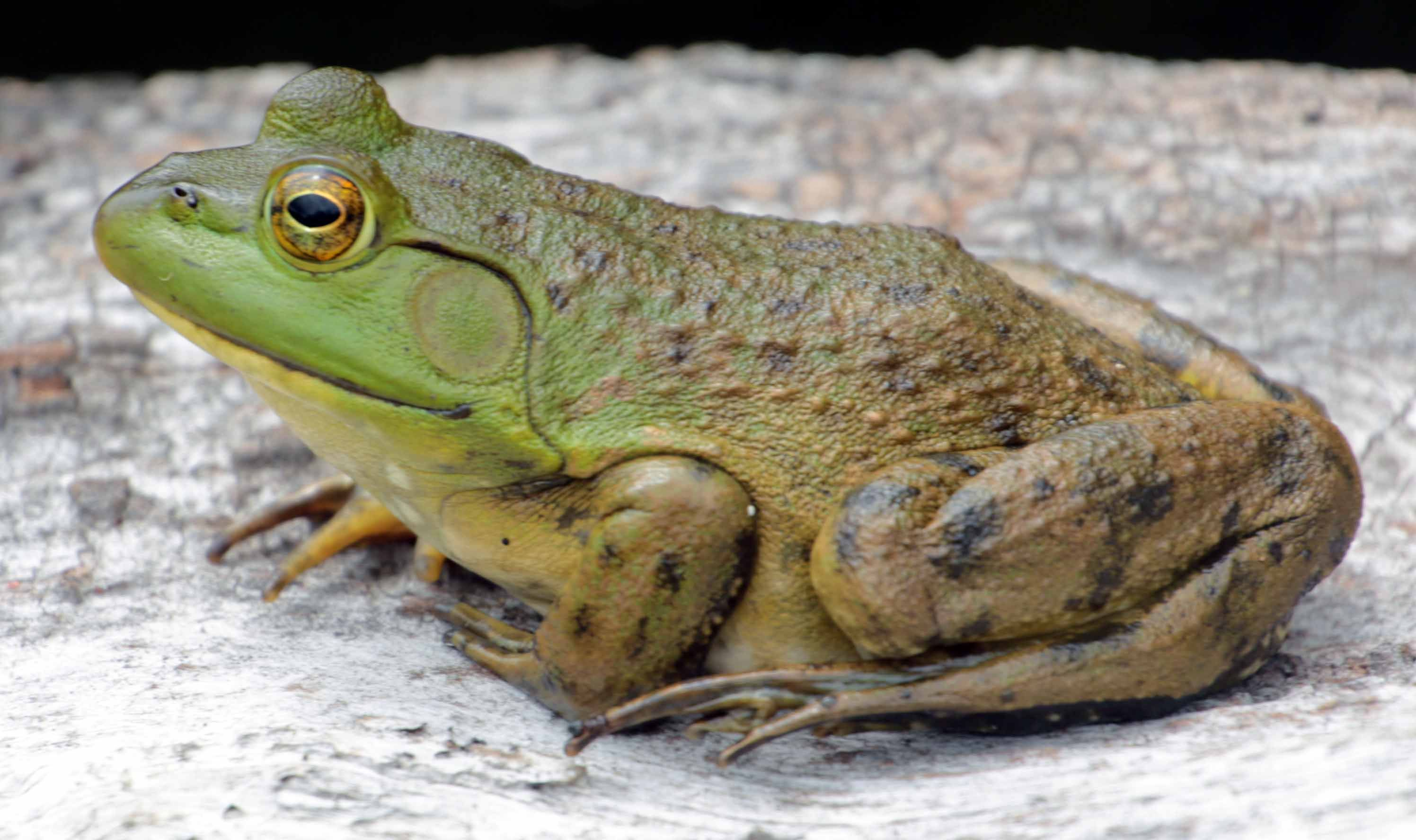 american bullfrog frogs pinterest frogs amphibians and reptiles