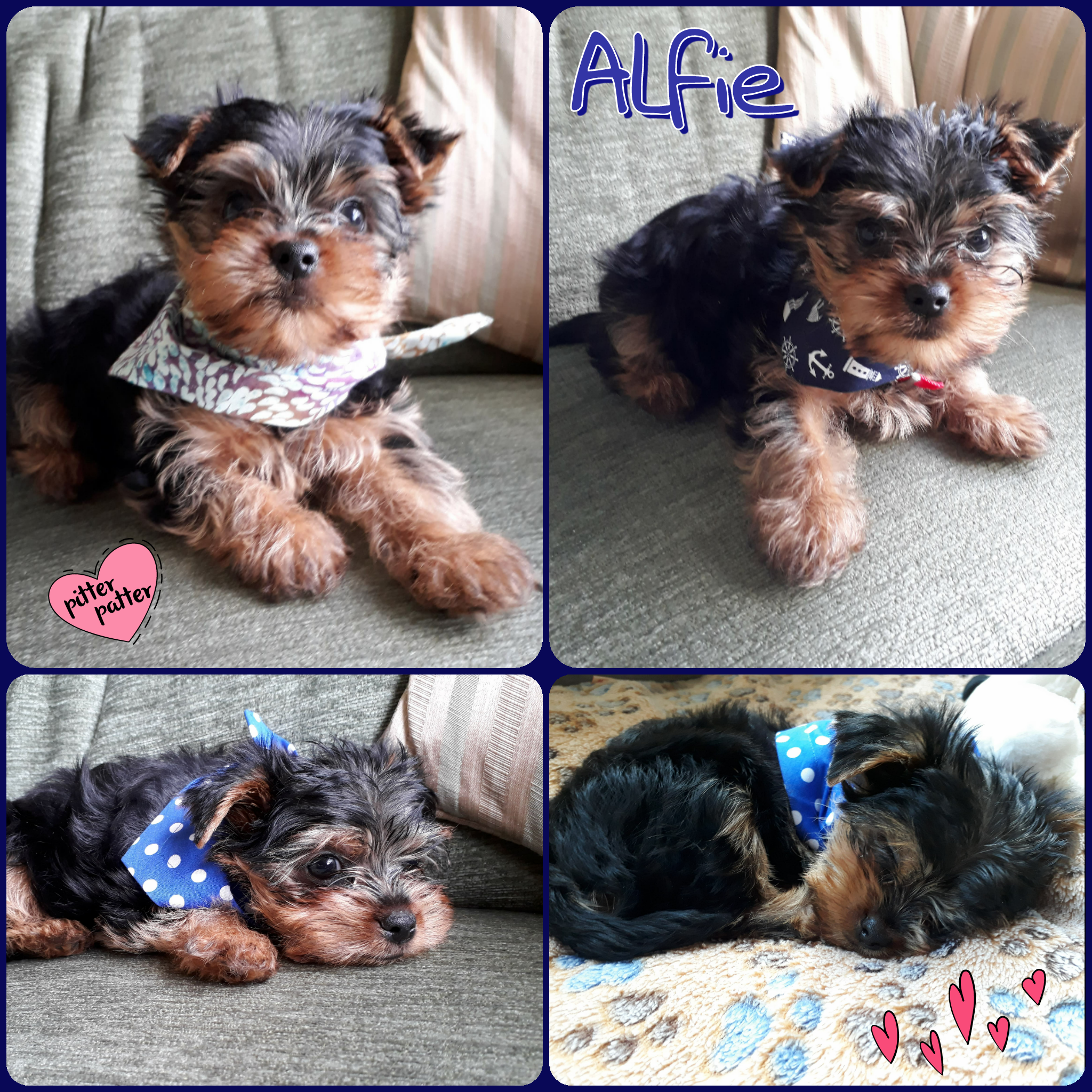 Our Teeny Tiny size is perfect for the tiniest puppies like Alfie, and teacup dogs. I can also custom make Teeny bandanas that fasten with velcro if your pet is really tiny....I've made these for ferrets and rabbits too!!  ~Teenytinybandana #tinydogaccessories #teacupdogs #catbandanas #giftsforpuppies #choosingabandana #bandanasizes #bestbandanas #dogbandanas #Yorkiepuppy #Yorkshireterrier #puppyaccessories