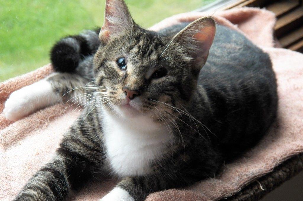 Available for Adoption Purebred Cat Rescue Katt