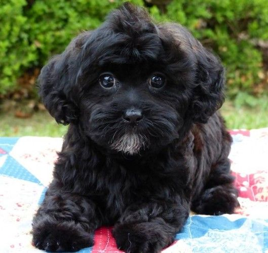 Super Cute 4 Male Shih Tzu Yorkie Mix Shorkie Tzu Puppies Left