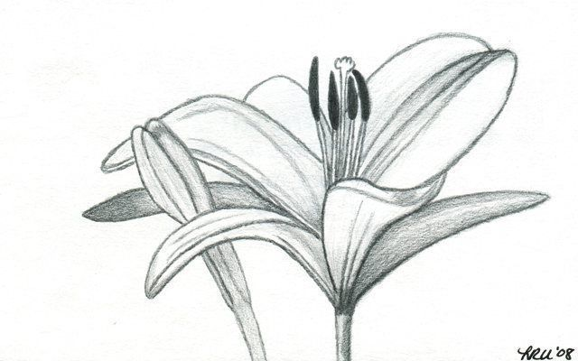 Lily Pencil Drawings Pencil Drawing