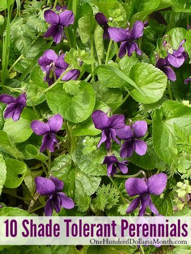 10 Shade Tolerant Perennials Flowers Perennial Flowering Plants Perrenial