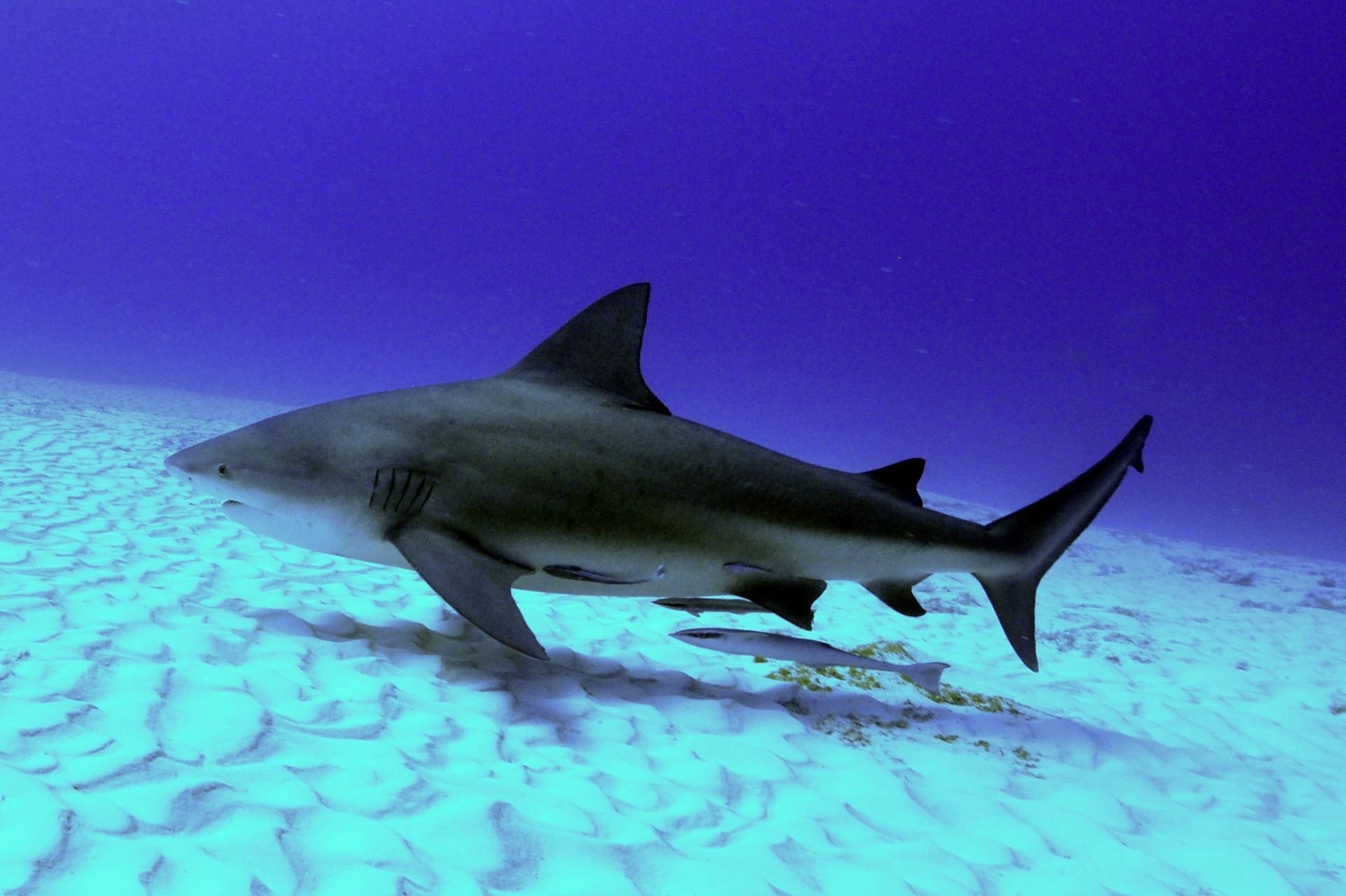 The Bull Shark, regarded as the bad guy of the shark world ...