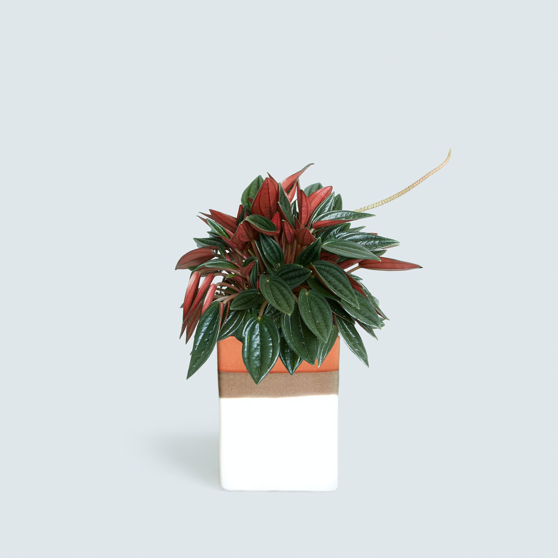 Rosso Peperomia and Olmsted