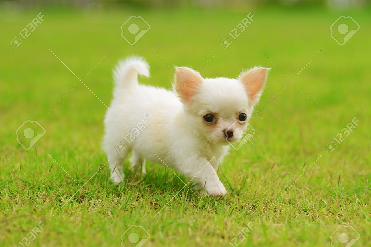 Stock Photo Chihuahua Puppies Dogs Puppies