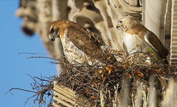94f92b03c9ba3a19fb122f8ffc5735a4 - How To Get A Hawk Out Of A Building