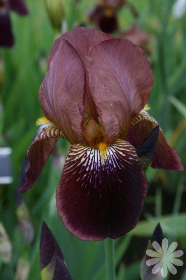 Tall bearded iris 'Vert Galant'