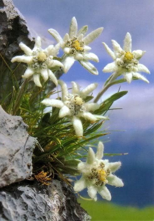 edelweiss edelweiss pinterest fleurs fleur jardin et fleurs des alpes. Black Bedroom Furniture Sets. Home Design Ideas