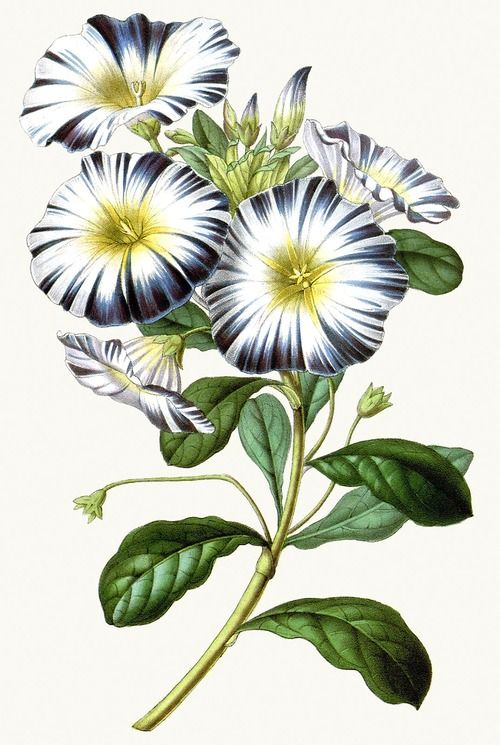 Dwarf Morning Glory (Convolvulus tricolor).    From Flore des Serres et des Jardins de l'Europe (Flowers of the Greenhouses and Gardens of Europe) vol. 3, by Charles Lemaire, Michael Scheidweiler, and Louis van Houtte, Ghent, 1847.