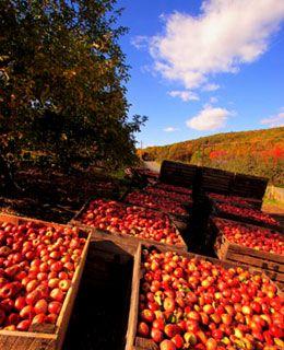 Fall Apple Harvest  #diamondcandles and #harvestcontest2012