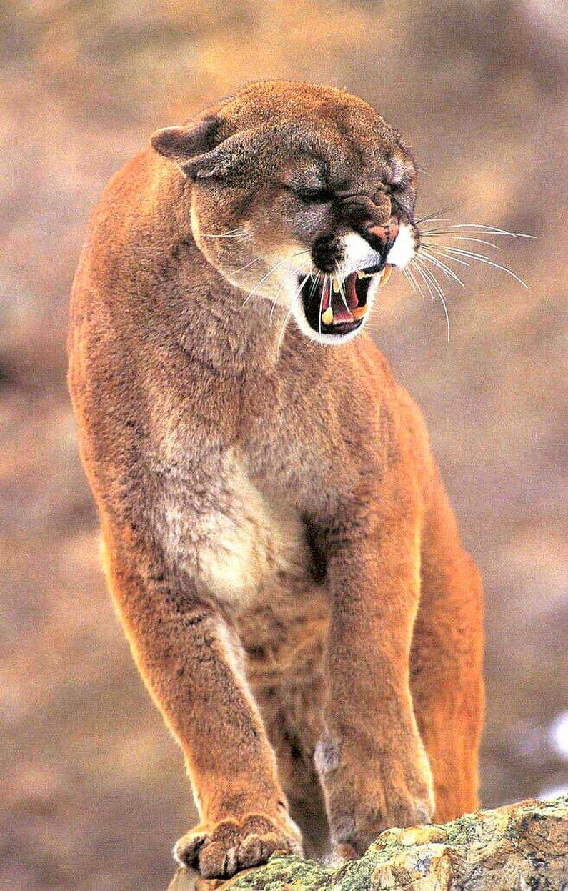 Cougar chats