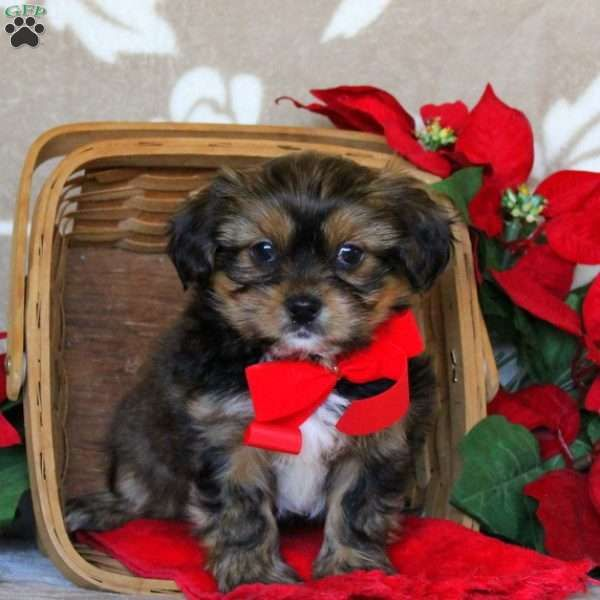 Cinnamon Miniature Schnauzer Mix Puppy For Sale In Pennsylvania Puppies Shorkie Puppies Shorkie Puppies For Sale