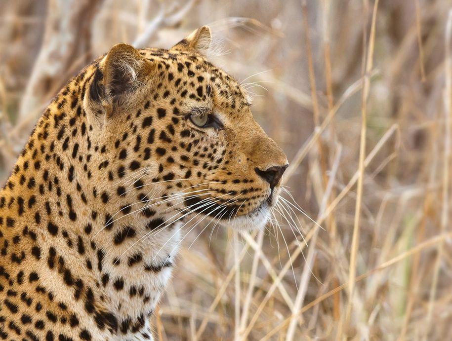 есть картинки африканского леопарда выложить салат