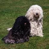 hungarian puli - Google Search