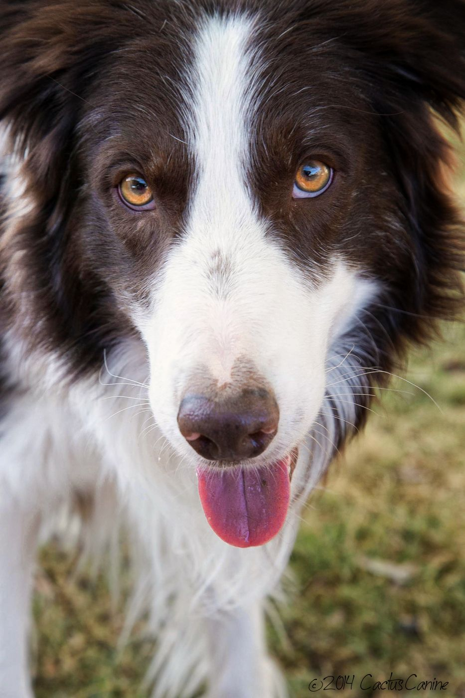Axl the red Border Collie...what a looker he is!   Red ...