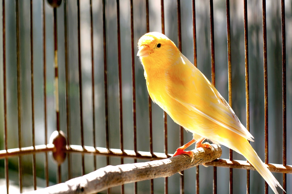 The Easiest Pets To Have In An Apartment Easy Pets Canary Birds