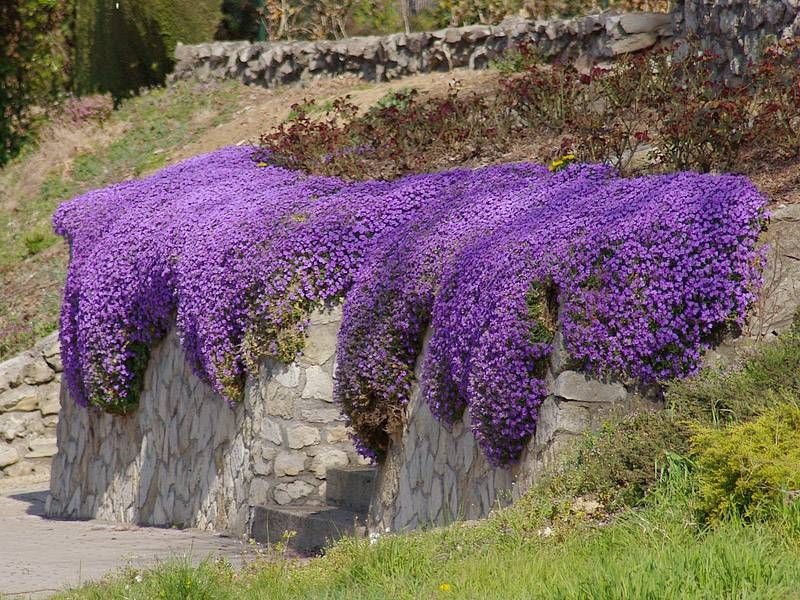 Aubrietia cascade blue fleurs simples tapis de fleurs et avril - Tailler orchidee apres floraison ...