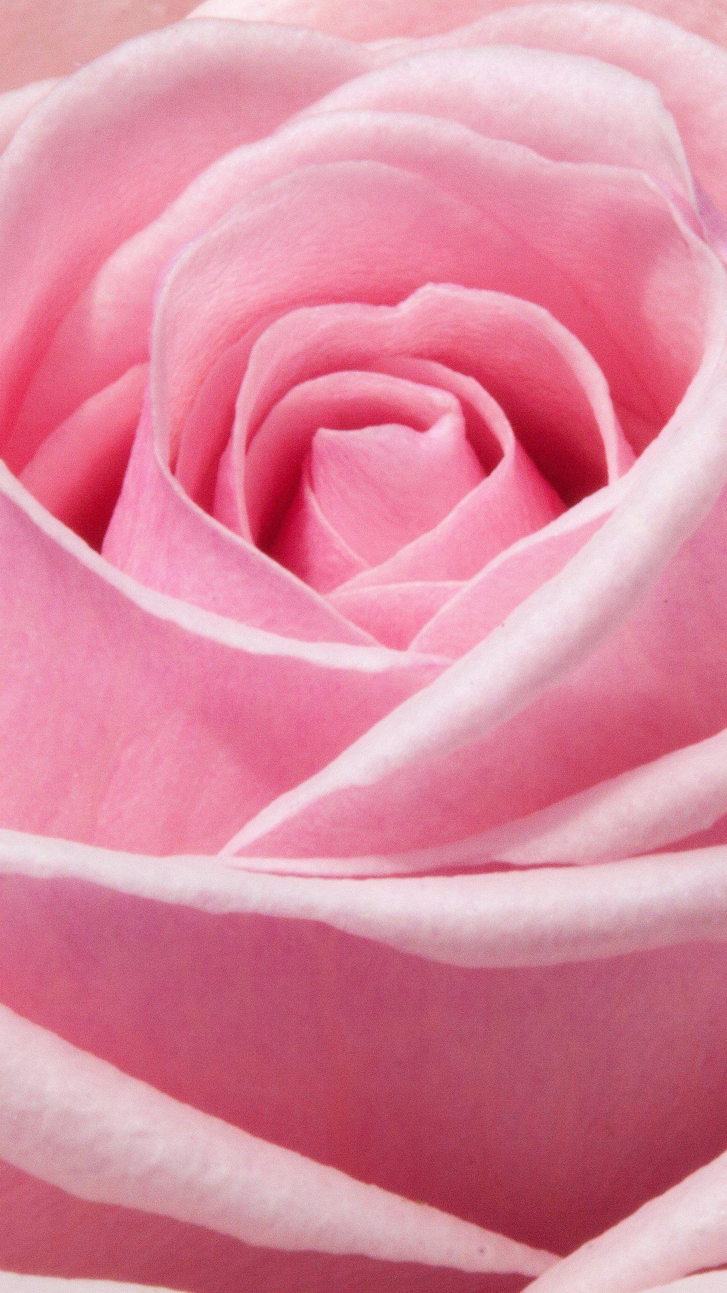 Pink Rose Wallpaper Iphone Android Desktop Backgrounds Pink Wallpaper Iphone Rose Wallpaper Pink Flowers Wallpaper