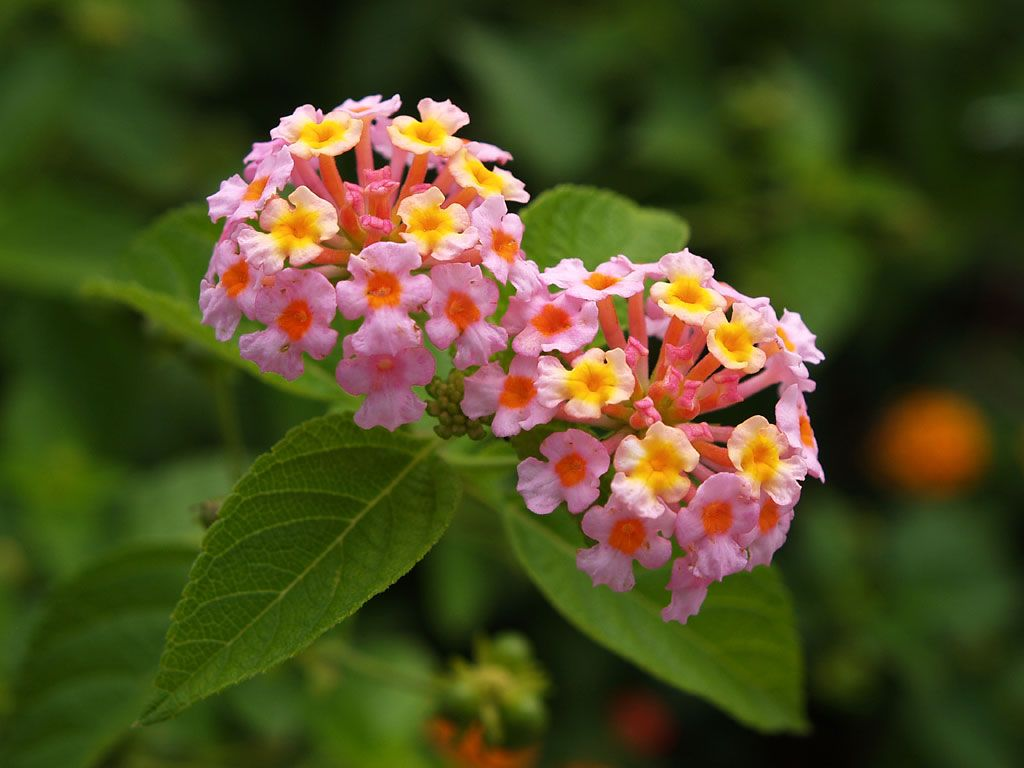 Lantana flower lantana flowers pictures lantana is a genus of lantana is a genus of about 150 species of perennial flowering plants native to tropical regions of the americas africa and existing as an imported plant mightylinksfo Image collections