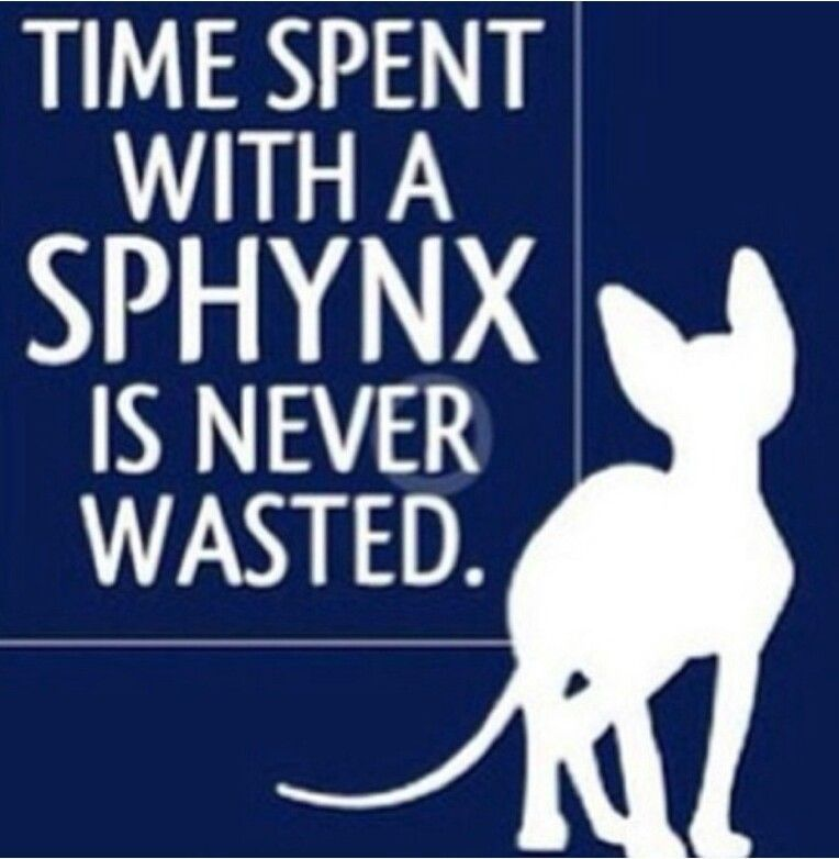 Wrinkles Of Luv Sphynx Sphynx Cat Sphinx Cat