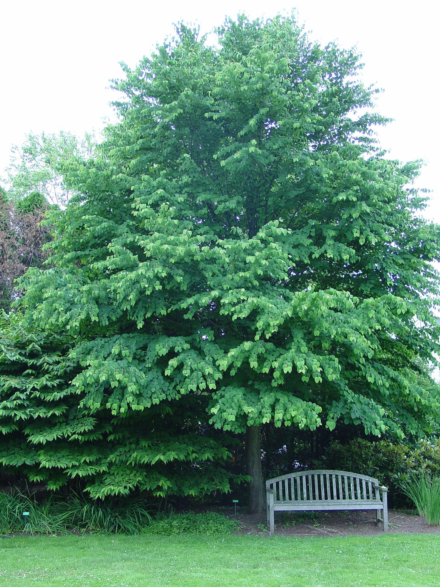 Katsura Gardens | Katsura Tree At Chanticleer Garden Near Philadelphia Pa