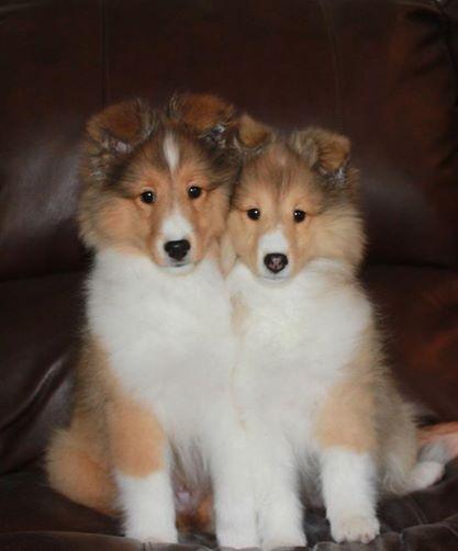 Lacey X Cajun Male Female Sheltie Puppy Sheltie Puppies For Sale Sheltie