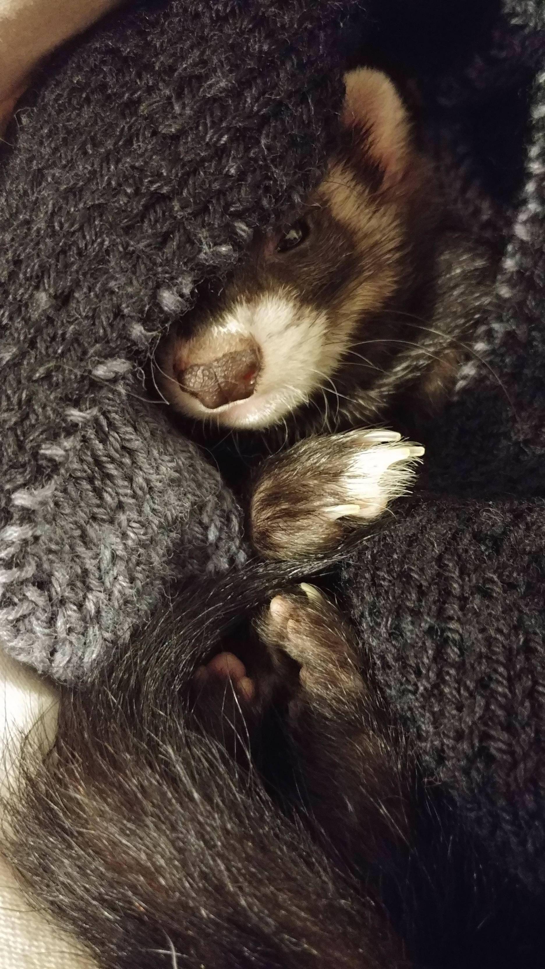 Sweet Baby Ferret Kali The Destroyer Http Ift Tt 2mra6q0 Frettchen Haustier Frettchen Lustige Frettchen