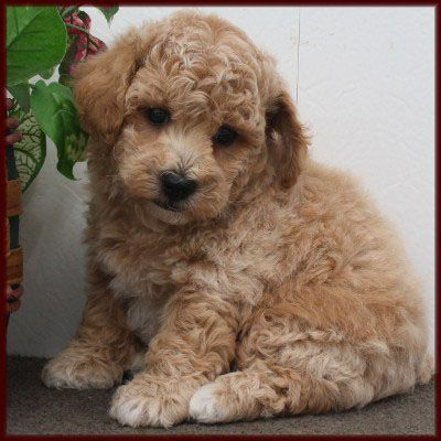 Poochon So Adorable I Want This Dog Poochon Puppies Puppies